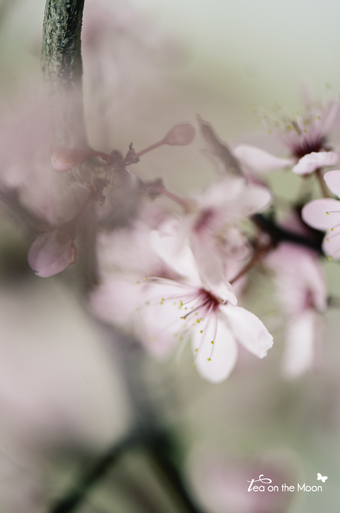 prunus con flor 04