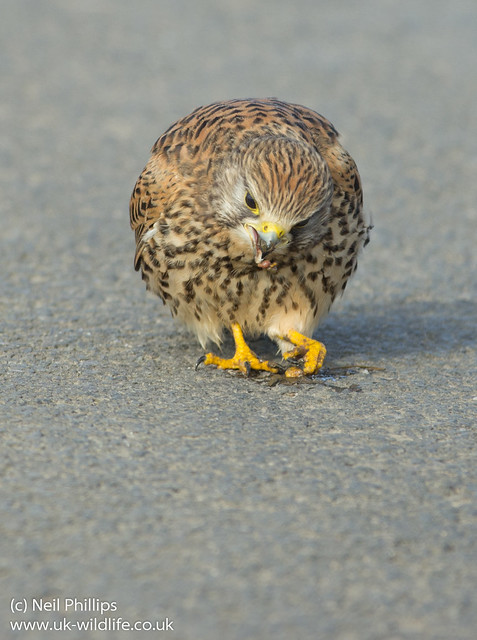 Kestrel eating earthworm-2