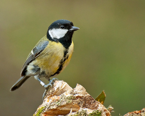 Great Tit.. by Andy Short's Nature Photography.