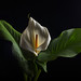 Calla With Soft Light by Bill Gracey 18 Million Views