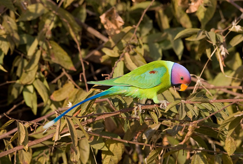 Parrots population declining fast in Sindh and Punjab
