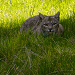 Bobcat In The Shade