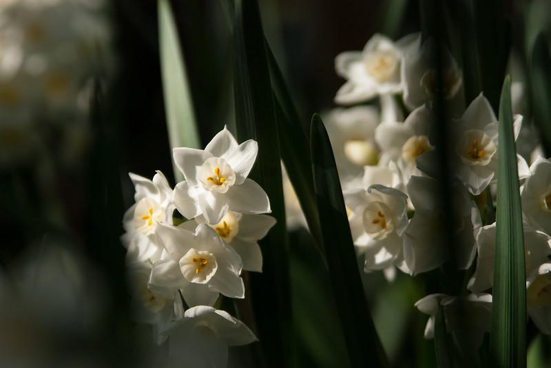 水仙narcissus