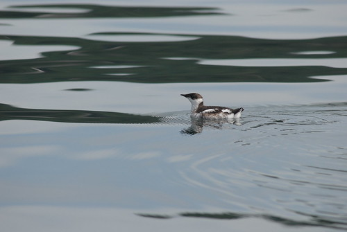 A Marbled Murrelet floats on the sea. (Photo by: Martin Raphael, U.S. Forest Service)