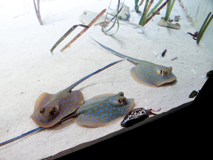 S.E.A. Aquarium world's largest aquarium rays