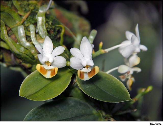 kleinbl tige orchidee phalaenopsis lobbii flickr. Black Bedroom Furniture Sets. Home Design Ideas