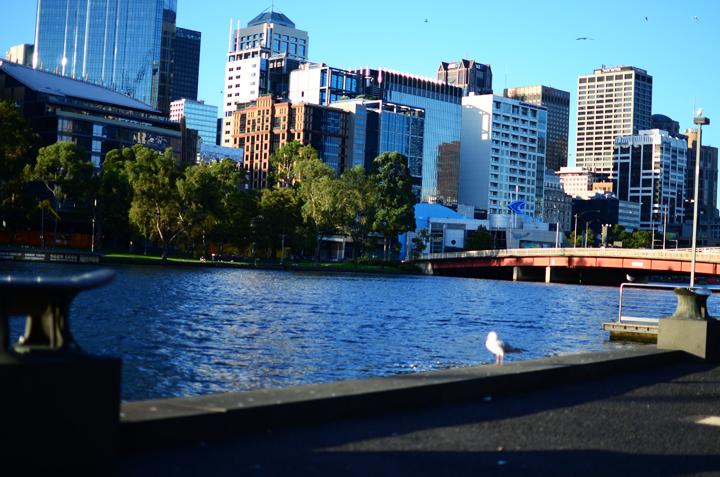 melbourne yarra seagull