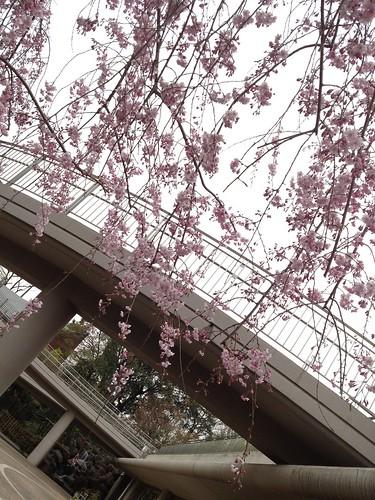 せせらぎのしだれ桜。