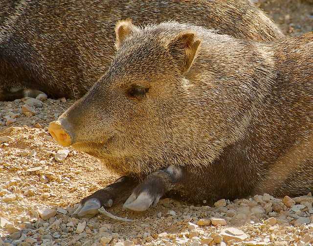 Peccary, Javelina, Skunk Pig, Javali, Jaball, Sajino (Pecari)_1 ...: https://flickr.com/photos/guppiecat/8587274586