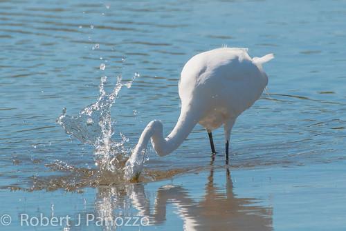 bird ngc sanibel sanibelisland egret greategret jndingdarlingnwr