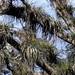 Trees covered with Bromeliads - árboles cubiertos de bromelias; entre Santa María Temaxcalapan y Villa Alta, Región Sierra Juárez, Oaxaca, Mexico por Lon&Queta