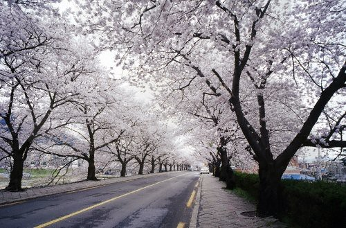 cherry-blossoms-korea.jpg