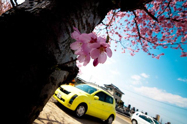Sakura in Gunma
