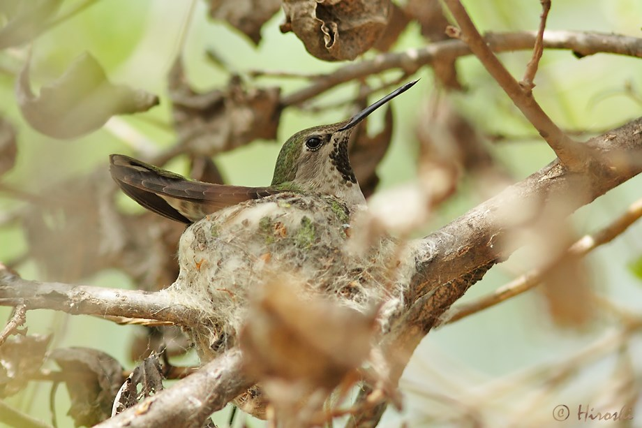 Anna's Hummingbird nest 032913