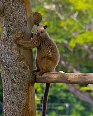 Tree Kangaroos of Papua New Guinea