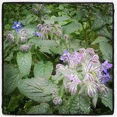 annual plant, flower, plant, lilac, herb, wildflower, flora, perilla frutescens,