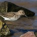 Dunlin by The Bristol Boy1
