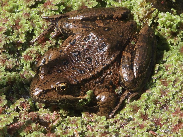california red legged frog This document describes buffer areas around certain habitats of the california red-legged frog, and limits on use of certain pesticides within those habitats and.