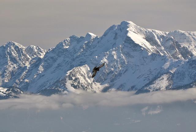 Alpine chough (
