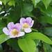 Garden Inventory: Clytostoma callistegioides - 10