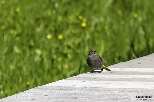 bird portugal birds biodiversity fêmea phoenicurusochruros biodiversidade rabirruivopreto salreu bioria