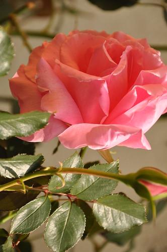 Rosa Rosada.