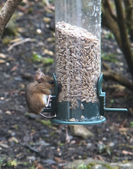 Mouse on Bird Feeder