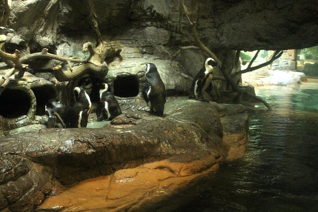Black Footed Penguins