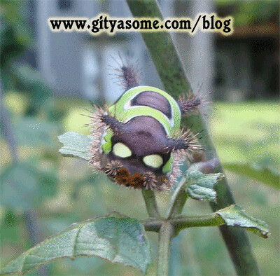 Acharia Stimulea Saddleback Caterpillar