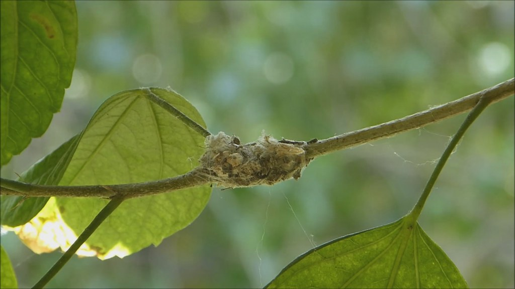Hummingbird Making Nest