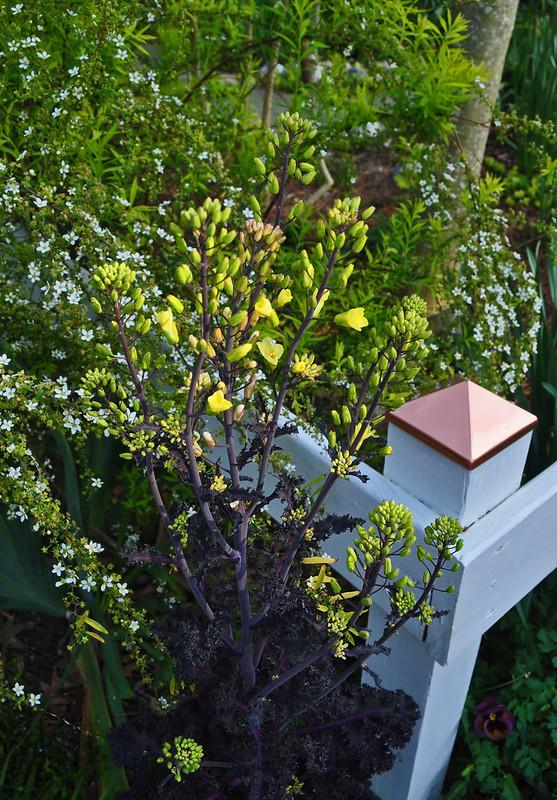 Brassica oleracea 'Redbor'