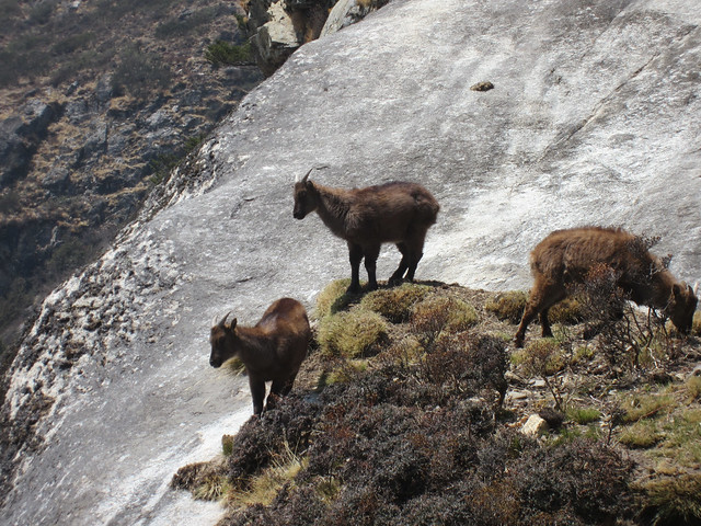 Wild Himalayan Mountain Goats