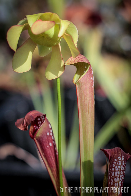"Sarracenia minor var. okefenokeensis x ""Green Monster"" - Clone 1"