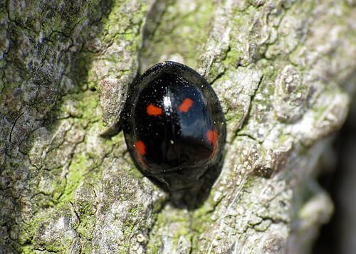 Pine Ladybird - Exochomus quadripustulatus