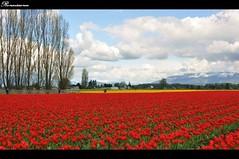 2013 Skagit Valley Tulip Festival