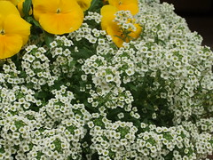 candytuft(0.0), annual plant(1.0), shrub(1.0), iberis sempervirens(1.0), flower(1.0), plant(1.0), flora(1.0),