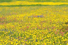 Texas wildflowers at Guadalupe County