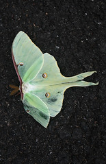 LUNA MOTH (Actias luna), in Staten Island, New York, USA. July, 2016