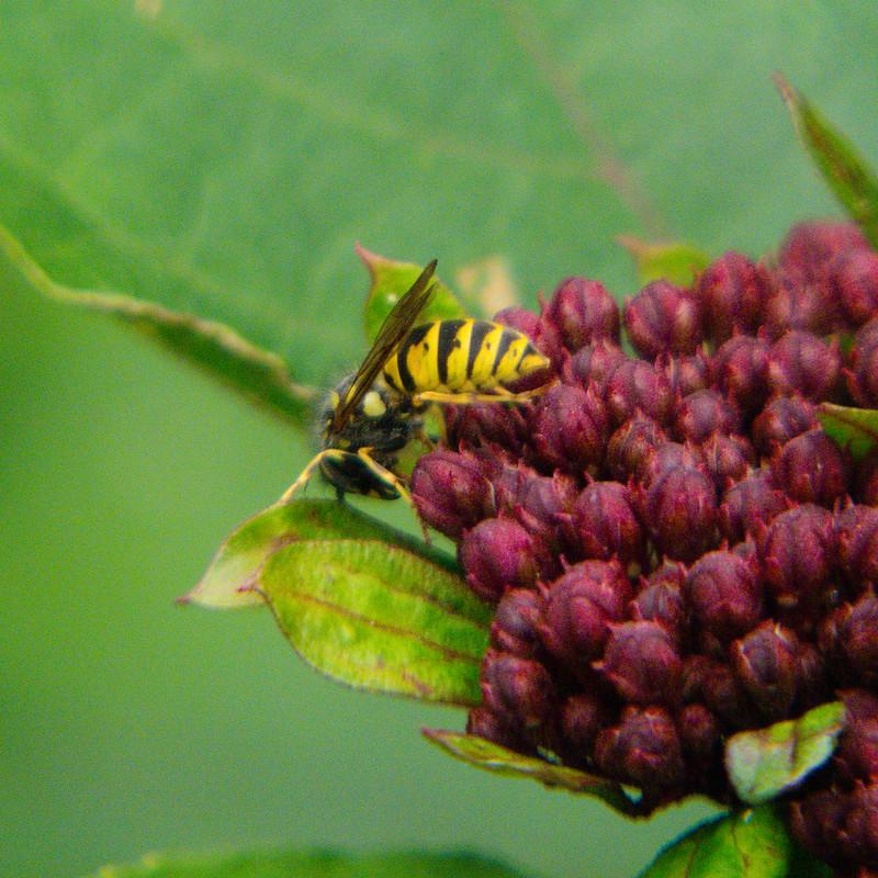 Wasp gathering nectar