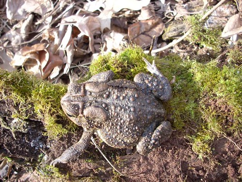 Image of American Toad