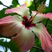Hibiscus storkii by phginlon