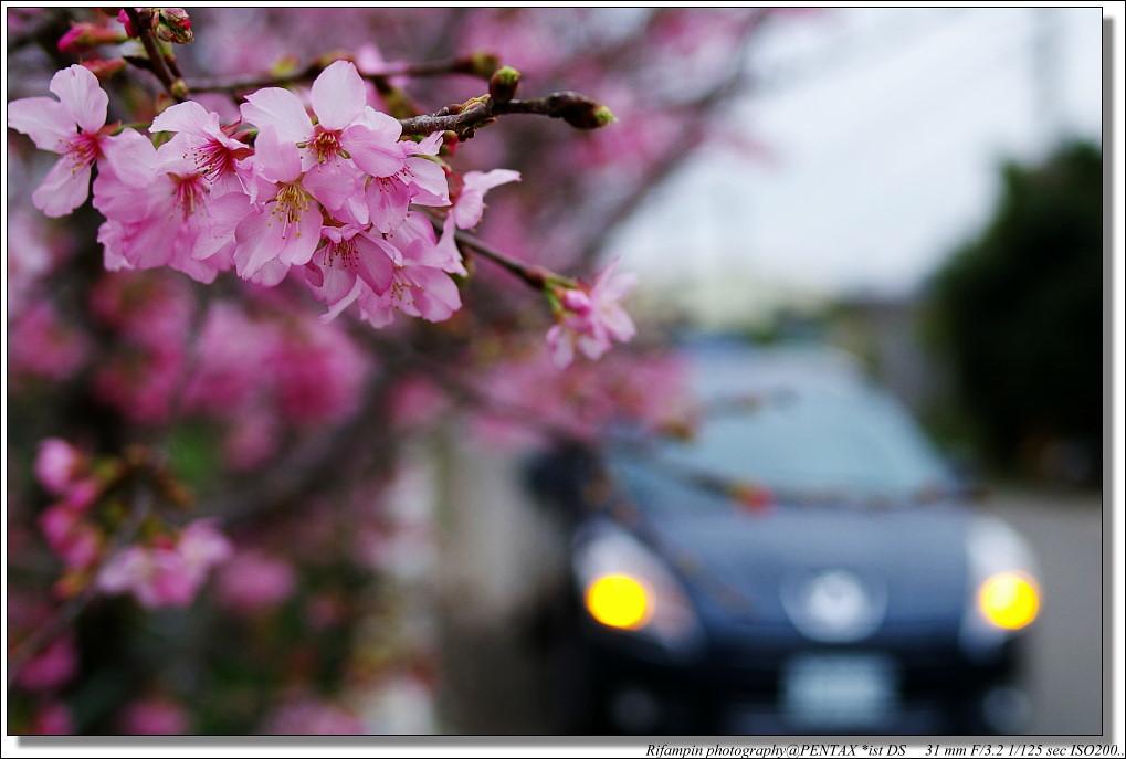 標緻愛車、新社櫻花、與我心目中永遠的小公主