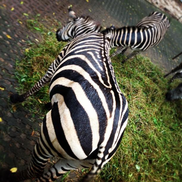 madagascar zebra - photo #34