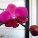 Particolare Phalaenopsis Fuxia