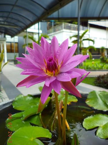 Bunga teratai by Blogermie
