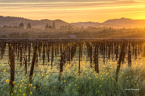 california morning mountains color fog barn creek sunrise landscape bare dry photograph mustard grapevines thechallengefactory thepinnaclehof kanchenjungawinner stephencurtin tphofweek193