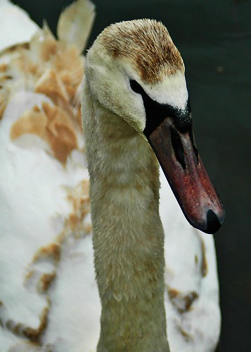Swan 2 by birbee