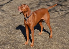 cirneco dell'etna(0.0), german pinscher(0.0), rhodesian ridgeback(0.0), dog breed(1.0), animal(1.0), segugio italiano(1.0), dog(1.0), redbone coonhound(1.0), pet(1.0), wirehaired vizsla(1.0), polish hunting dog(1.0), carnivoran(1.0), coonhound(1.0), vizsla(1.0),
