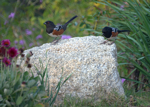 Two Spotted Towhees