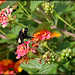 Bumble Bee on Lantana Flowers by Chris C. Crowley